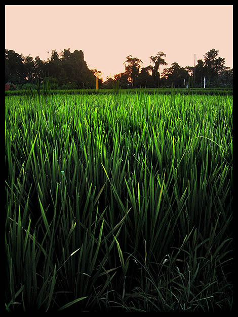 7493 Sun.rice.
